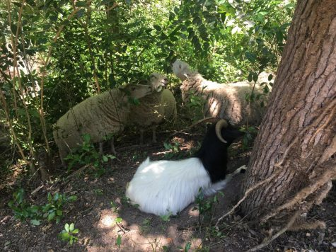 Sheep are eating their way through Macon-Bibb's newest park