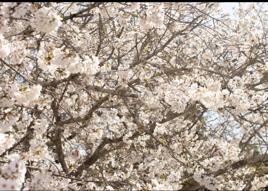 The rich history of the blooming Cherry Blossom Trees are a big part of the annual International Cherry Blossom Festival.